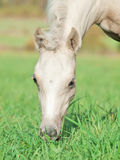 Portrait of pony  foal in the pasture Stock Photography