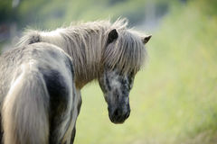 Portrait of pony looking back Royalty Free Stock Photo