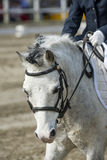 Portrait of a pony. Ridden by a child in a dressage event Royalty Free Stock Photo