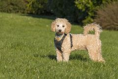 Portrait of poochon puppy in park. Portrait of poochon puppy wearing black harness standing with tail up on green grass in a park and looking into the camera royalty free stock photo