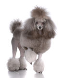 Portrait of poodle Royalty Free Stock Photo