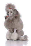Portrait of poodle royalty free stock images