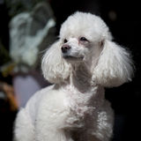 PORTRAIT OF POODLE royalty free stock image