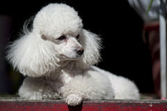 PORTRAIT OF POODLE Stock Images