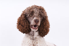 Portrait of poodle Stock Photo