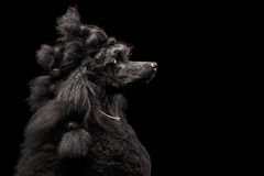 Portrait of Poodle on Black Background Royalty Free Stock Images