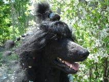 Portrait of poodle. Large standard royal black poodle, spring portrait of dog breed poodle black in cherry blossoms Stock Photography