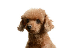 Portrait of poodle staring forward Royalty Free Stock Images