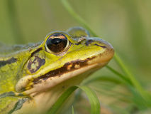 Portrait Pool frog Stock Photos