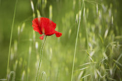 Portrait of poppy on green field. Isolate object background stock photos