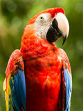 Portrait of Portrait of Scarlet Macaw parrot Royalty Free Stock Photos