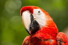 Portrait of Portrait of Scarlet Macaw parrot Royalty Free Stock Image