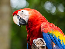 Portrait of Portrait of Scarlet Macaw parrot Stock Photography