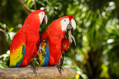 Portrait of Portrait of Scarlet Macaw parrots Royalty Free Stock Photo
