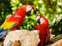Portrait of Portrait of Scarlet Macaw parrots Stock Image