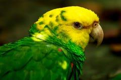 Portrait of Portrait of Yellow-headed Amazon Parrot stock images