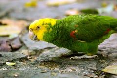 Portrait of Portrait of Yellow-headed Amazon Parrot Stock Photography
