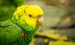 Portrait of Portrait of Yellow-headed Amazon Parrot Royalty Free Stock Photos