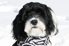 Portrait of a Portuguese Water Dog wearing a bandana Stock Image