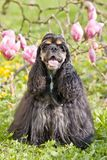 Portrait of posing american cocker spaniel Stock Photo