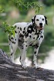 Portrait of posing dalmatian Royalty Free Stock Photography