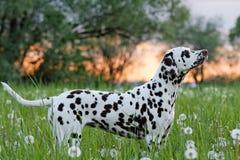 Portrait of posing dalmatian Royalty Free Stock Photos