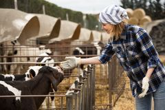 Portrait of Cheerful cowgirl with dairy cattle in farm. Portrait of positive Cheerful cowgirl with dairy cattle in farm Stock Image