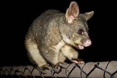 Portrait of possum at night Royalty Free Stock Images