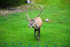 Portrait of powerful adult red deer stag in Autumn Fall forest. Wildlife, buck, animal, nature, hunting, white, whitetail, cervus, mammal, antler, antlers royalty free stock photography