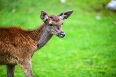 Portrait of powerful adult red deer stag in Autumn Fall forest royalty free stock photo