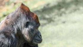 Portrait of powerful alpha male African gorilla at guard. Details, close up, smooth background royalty free stock images