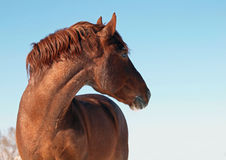 Portrait of powerful chestnut  horse Royalty Free Stock Image