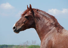 Portrait of powerful chestnut stallion Royalty Free Stock Images