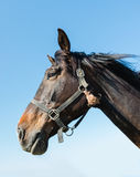 Portrait of a powerful dark brown horse Stock Photos