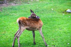 Portrait of powerful young red deer stag in Autumn Fall forest royalty free stock image