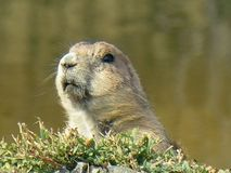 Portrait of Prairie dog. With water in background Royalty Free Stock Photo