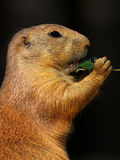 Portrait of a  prairie dog. Close-up portrait of a prairie dog eating a leaf from a twig against a dark background Royalty Free Stock Image