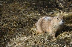 Portrait of a prairie dog Royalty Free Stock Photo