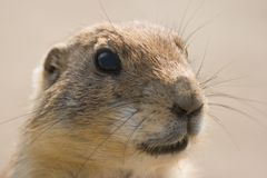 Portrait of Prairie dog Stock Photo