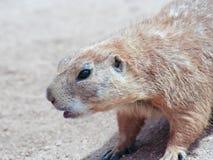 A Portrait of a Prairie Dog Stock Photo