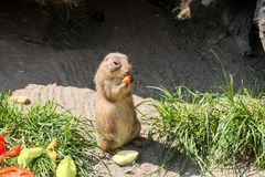 Portrait of a prairie dog. Closeup. prairie dog eat standing up and hold food in front paws royalty free stock photos