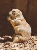 Portrait of Prairie dog. Stock Image