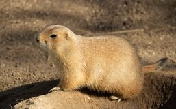 Portrait of prairie dog from profile.  stock photos