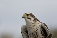Portrait of a Prairie Falcon Stock Photography