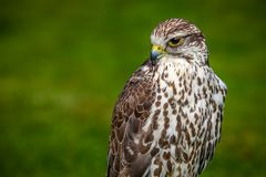 Portrait of prairie falcon Stock Photos