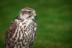 Portrait of prairie falcon Stock Photography