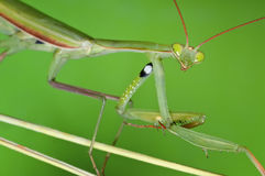 Portrait of the Praying Mantis Royalty Free Stock Photos