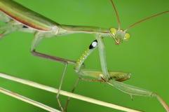 Portrait of the Praying Mantis Royalty Free Stock Photos