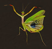 Portrait of praying mantis Stock Images