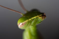 Portrait of a praying mantis Stock Photos